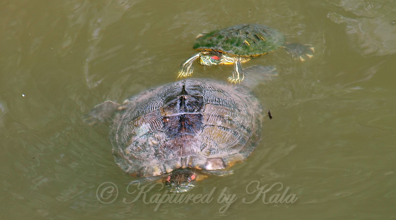 Red-eared Slider Mating Behavior 4
