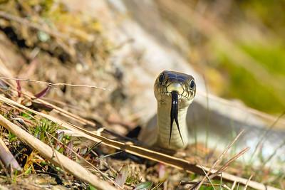 Snake , Snok
