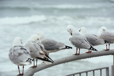 Seagulls at Dunedin