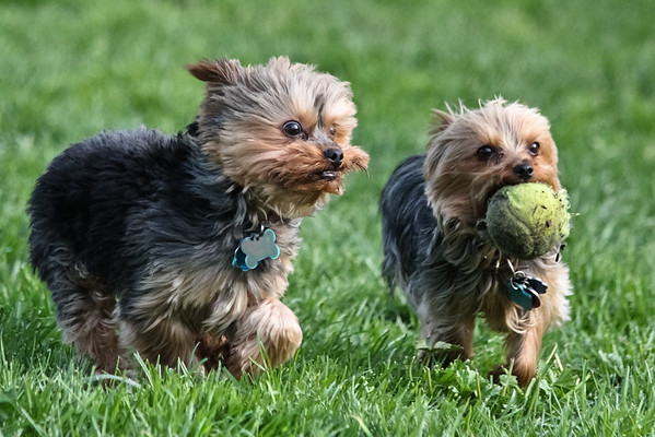 Tiny Dogs with Big Tennis Ball
