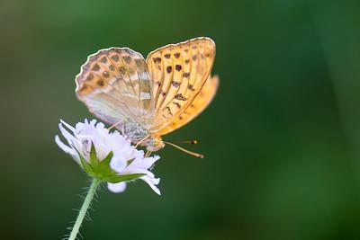 Argynnis paphia , Silverstreckad pärlemorfjäril