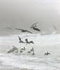 Pelicans in the Mist II