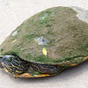 Rachel River Cooter Was Ready To Lay Her Eggs