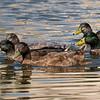 092016 Mallard Duck - Davis and Laurel - Salinas 017 3x10L