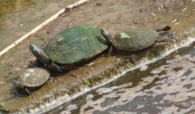 Three Basking Turtles