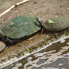 Three Basking Turtles