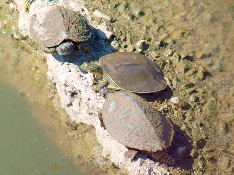 Another New Mississippi Map Turtle
