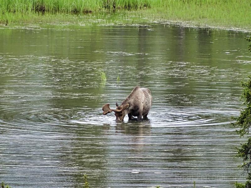 Bull Moose, Yukon Territory, Canada