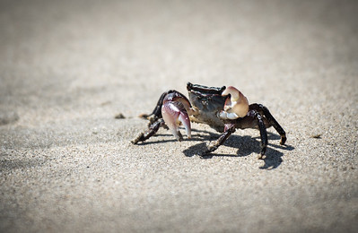 Mini Crab at Avila Beach