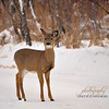 White-Tailed Deer at FortWhyte Alive