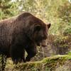 Grizzly Bear (Ursus arctos)
