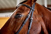 dressage european warmblood horse with bridle closeup