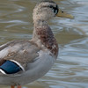 092016 Mallard Duck - Davis and Laurel - Salinas 011 4x6P-2