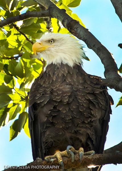 Alaska Bald Eagle 2018