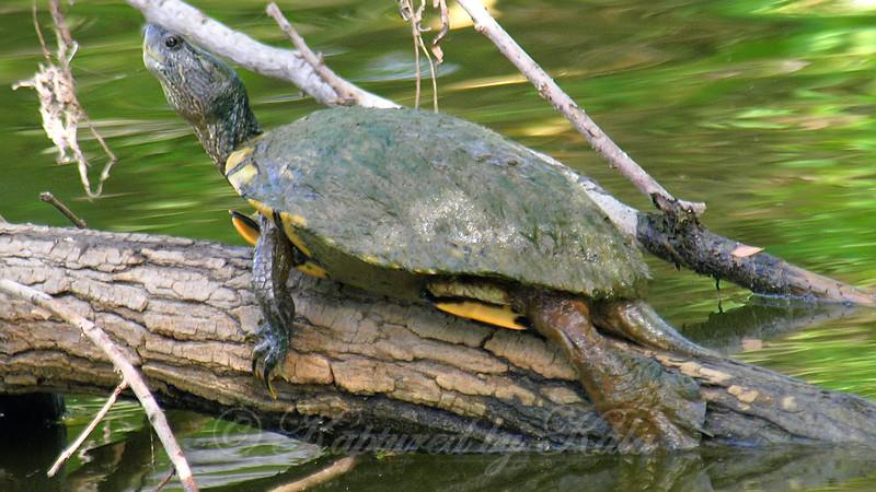 Turtle Mojo