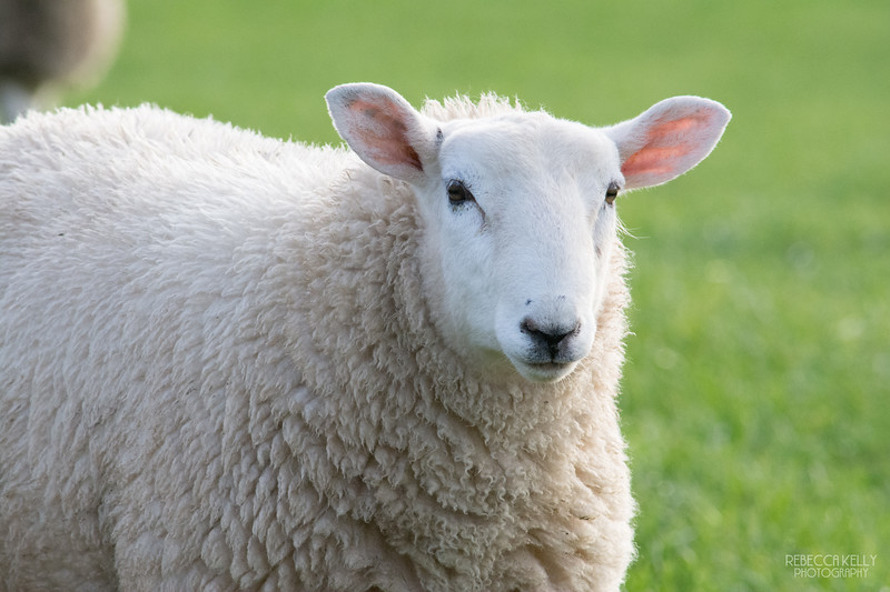 Close Up of White Manx Sheep on the Isle of Man