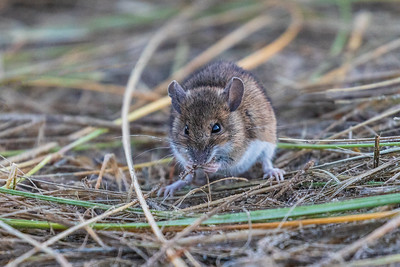 Yellow Necked Field Mouse 1