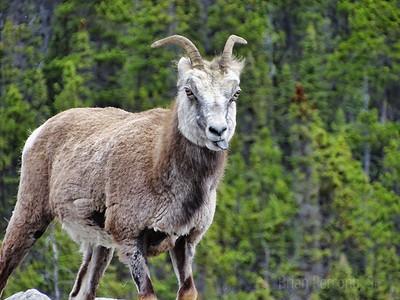Stone Sheep, British Columbia, Canada