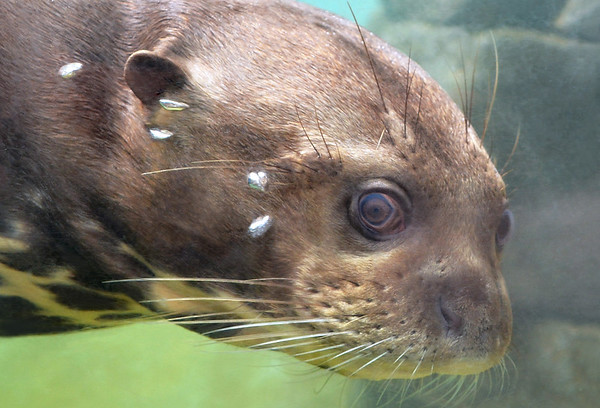 The Otter Eye
