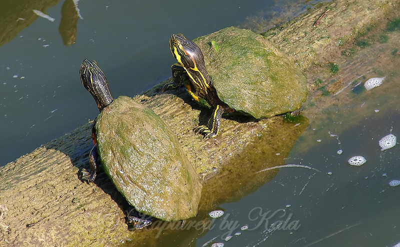 Cumberland Slider Hanging Out With A River Cooter