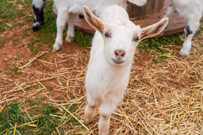 Virginia is for Baby Goat Lovers