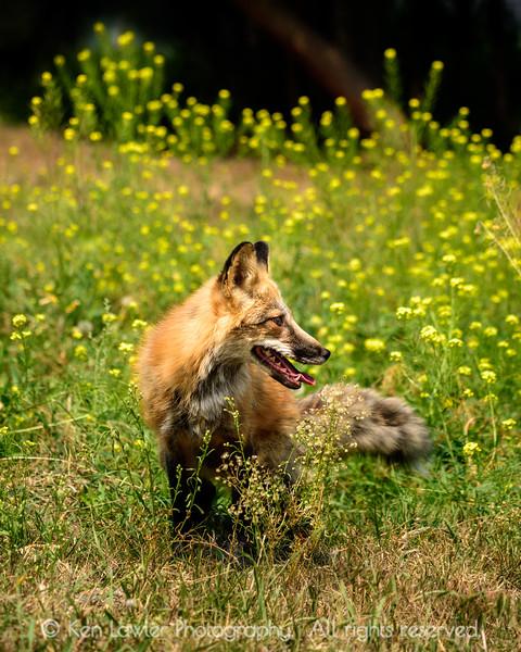Fox and wildflowers II