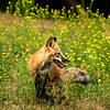 Fox and wildflowers II