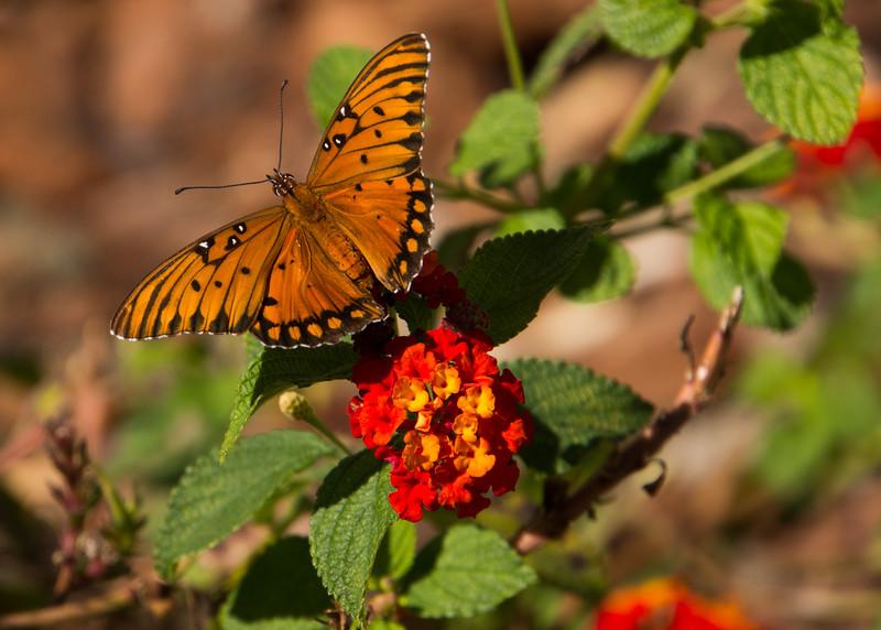 102115 Gulf Fritillary Butterfly - Monterey 007 5x7L