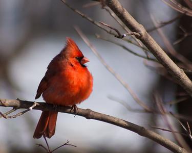 Cardinal, Male, 01