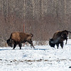 Frisky Buffalo