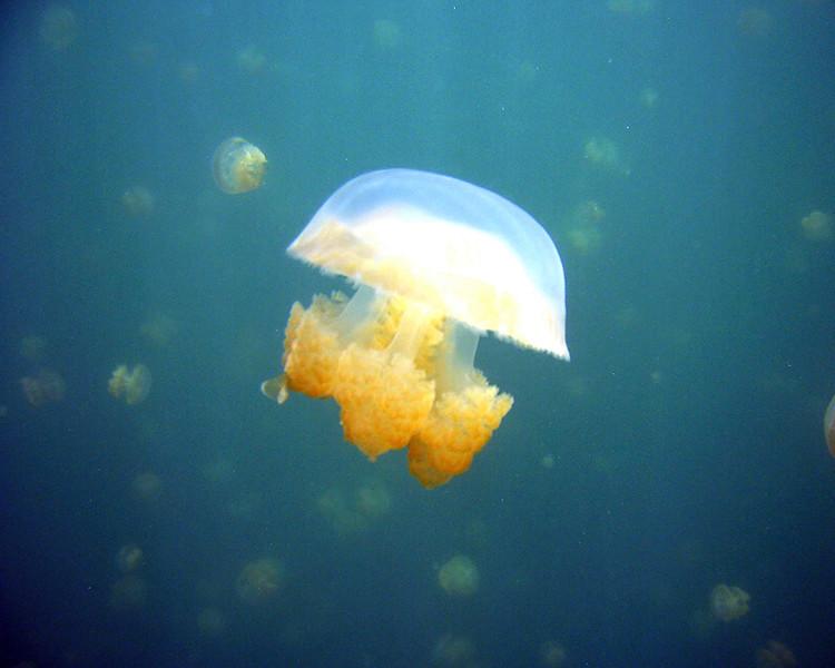 Jellyfish, Palau