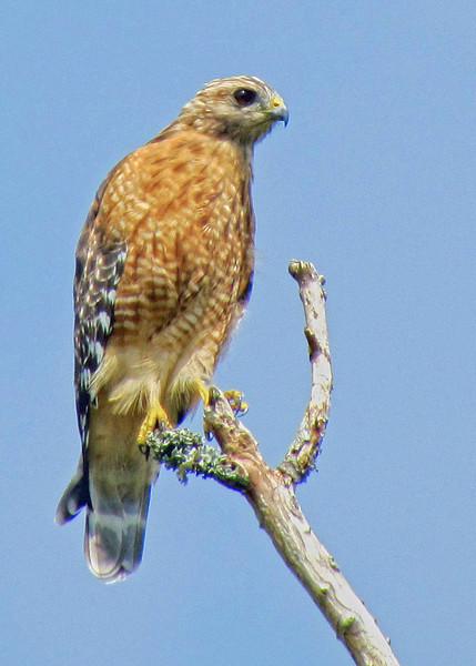 Red shouldered hawk. Cape Carteret, NC 2011.