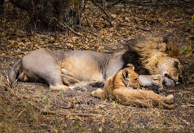 Lion Resting With Cub