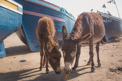 Donkeys in Tafedna, Morocco