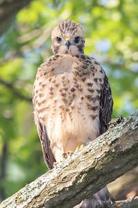 Red-shouldered Hawk - Juvenile