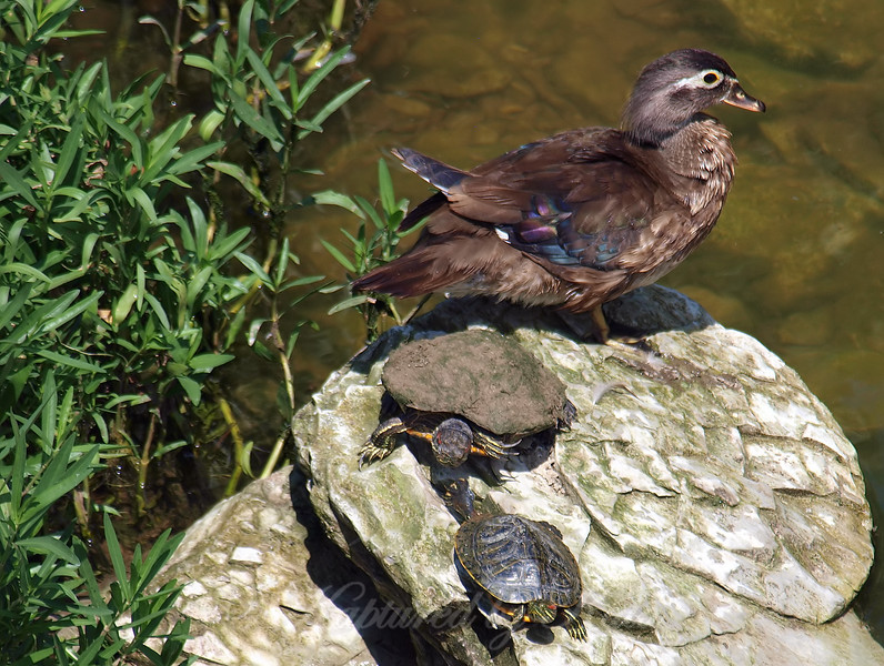 Wendy Wood Duck Took Her Pet Turtles On An Outing