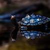 Black Knobbed Map Turtle