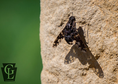 Insects - Horse Fly Brown Stones