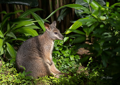 Wallaby, Benalmádena (captive)