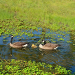 Canadian geese family with baby ducklings