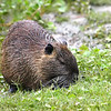 Nutria Gets Closer