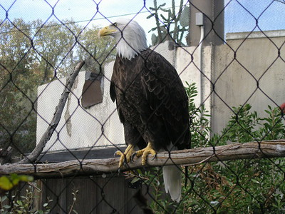 An eagle at the Ft Worth Zoo