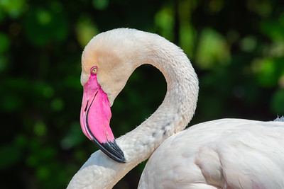Portrait of a Greater flamingo, the largest species of the flamingo family