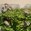 080516 Birds and Dove - Salinas 026a 5x7L-2
