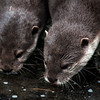 Asian Small-clawed Otters (Amblonyx cinereus) drink from a pond
