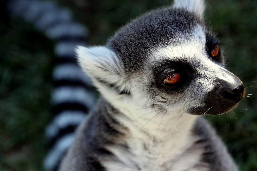 Lemur Close-up