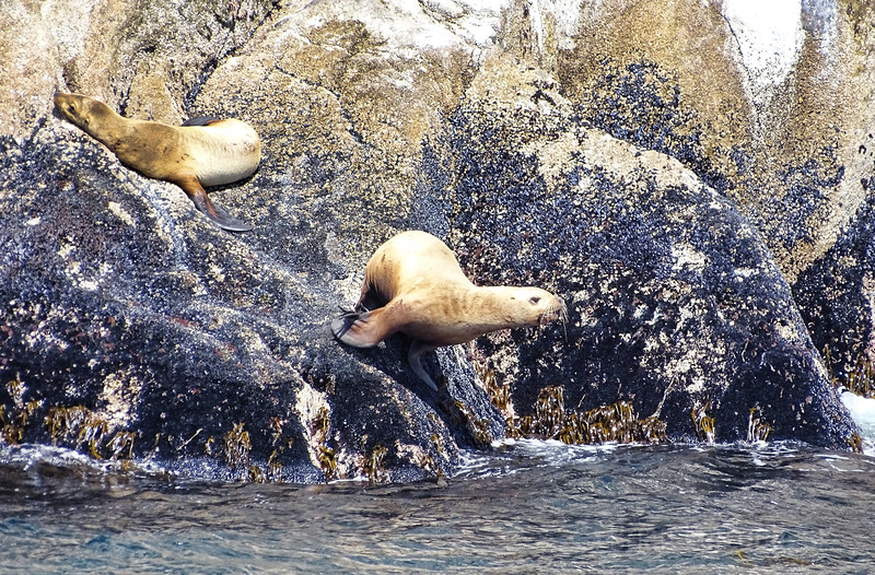 Sea Lion Colony, Resurrection Bay, Alaska