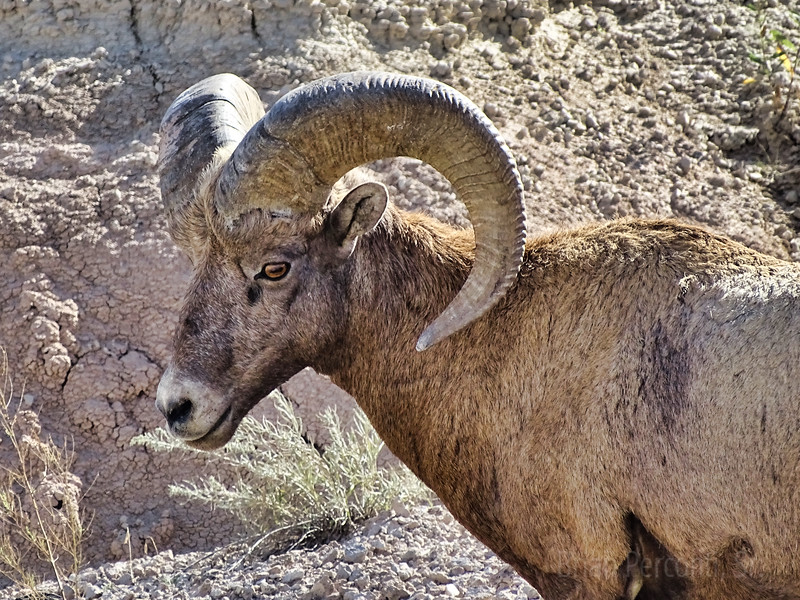 Bighorn Sheep Badlands National Park