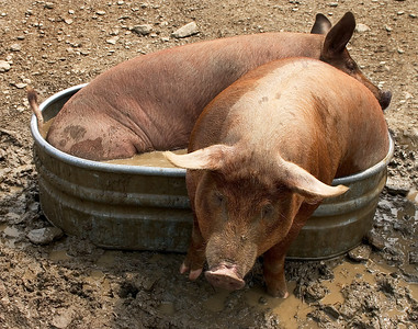 Two pigs in a tin bath