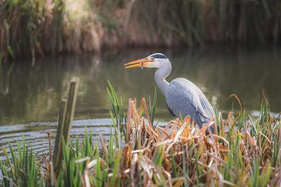 Grey Heron at Inverleith Park